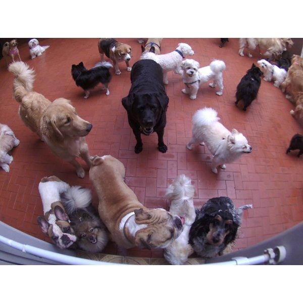 Babá para Cães Preço no Jardim Aurélia - Dog Sitter em São Bernardo