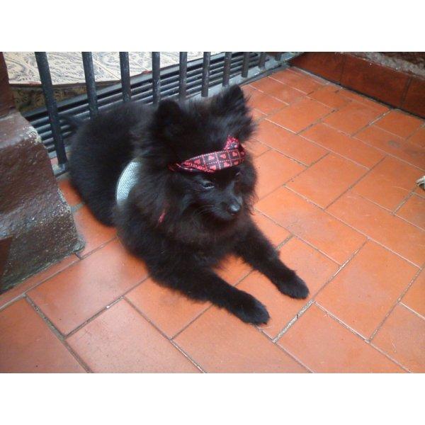 Dogsitter com Valor Bom no Jardim Avelino - Serviço de Babá de Cachorros Filhotes