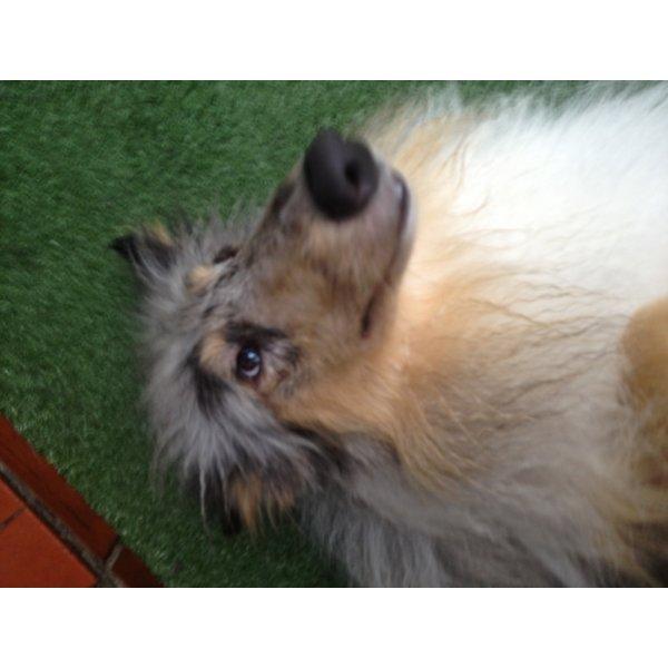 Empresa de Adestradores de Cães Onde Achar no Jardim Glória - Adestrador de Cães em São Bernardo