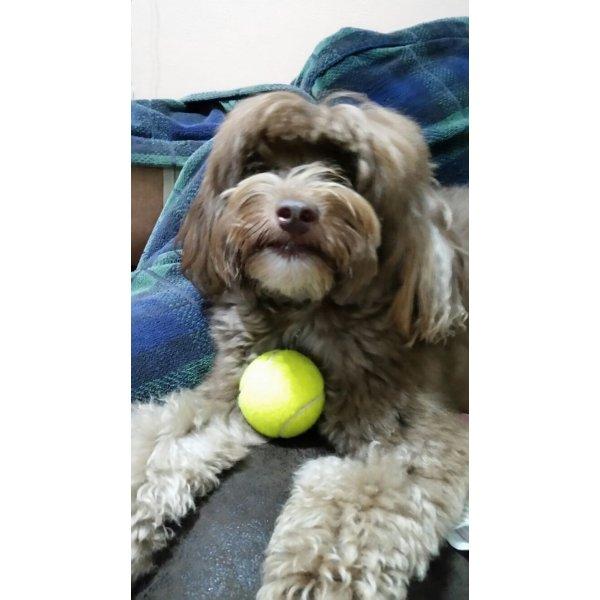 Serviço de Babá de Cachorros Qual Empresa Tem na Vila Assunção - Dog Sitter em São Bernardo