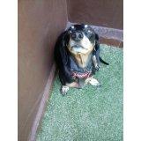 Adestrador Canino no Glicério