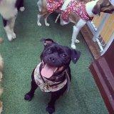 Passeador de Cães preços no Catumbi